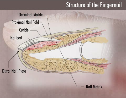 healthy nails, Cephalic Vein